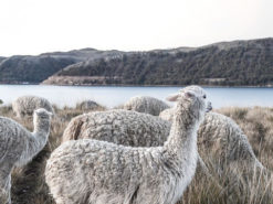 Pack of Alpacas