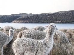 Pack of Alpacas